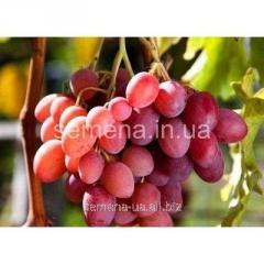 Grapes saplings Kardishakh, Article of goods
