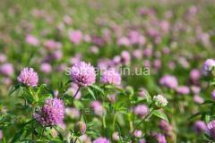 Seeds of a lawn grass Clover decorative Milvus,