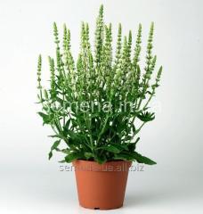 Flowers seeds, Salviya's Perennial long-term
