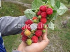 Raspberry saplings Dnieper, Article of UT000003972