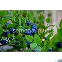 Bilberry saplings Patriot, Article of UT000003797