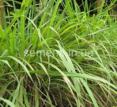 Seeds Lemon grass, Article 5279