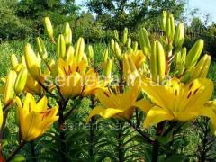 Flowers seeds Lilia (spring collection) to