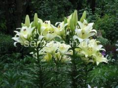 Flowers seeds Lilia (spring collection) Gerrit