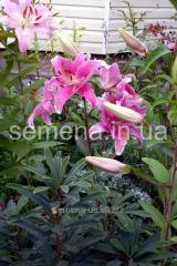 Flowers seeds Lilia (spring collection)