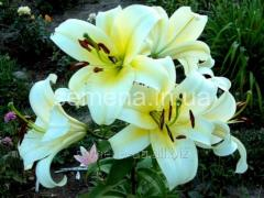 Flowers seeds Lilia (a spring collection) of the