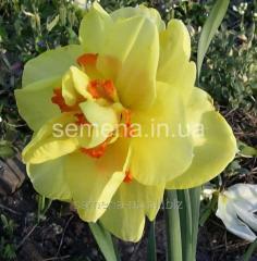 Flowers seeds Tahiti Narcissus, Article of