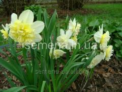Flowers seeds Ice King Narcissus, Article of