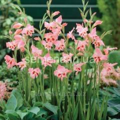 Flowers seeds Gladiolus (spring collection) of