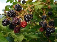 Blackberry saplings Lokhtya, Article of
