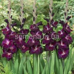 Flowers seeds Gladiolus (spring collection) Waris,