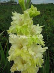 Flowers seeds Gladiolus (spring collection) Gidan,
