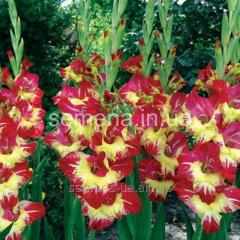 Flowers seeds Gladiolus (spring collection) of the