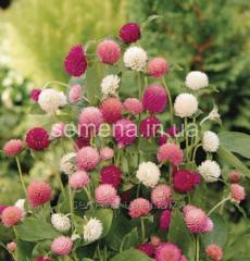 Flowers seeds, Odnoletnik Gomfrena Gomfrena tall,