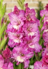 Flowers seeds Gladiolus (spring collection) Minsk,
