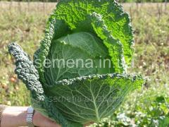 Seeds of a Savoy cabbage Melissa of F1, Article