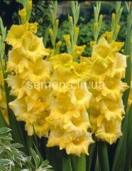 Flowers seeds Gladiolus (spring collection) Nova