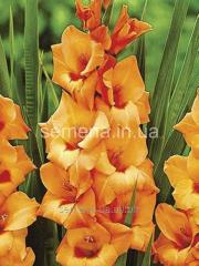 Flowers seeds Gladiolus (spring collection) Peter