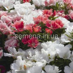 Flowers seeds, Odnoletnik Godetion krupnotsvetkovy
