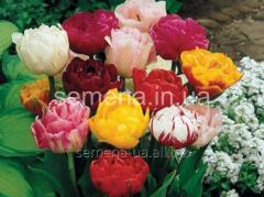 Flowers seeds Abba Tulip, Article of UT000002335