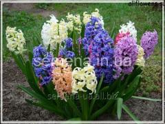 Flowers seeds of Hyacinth Blue Giaht, Article of