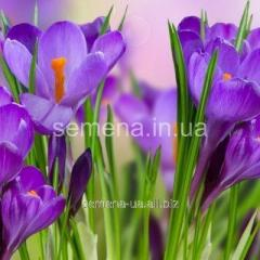 Flowers seeds Remembrance Crocus, Article of