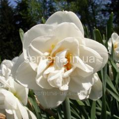Flowers seeds Acropolis Narcissus, Article of