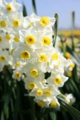 Flowers seeds Minnow Narcissus, Article of