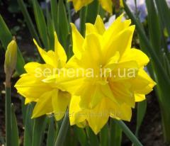 Flowers seeds Golden Ducat Narcissus, Article of
