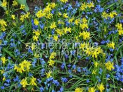 Flowers seeds Hawera Narcissus, Article of