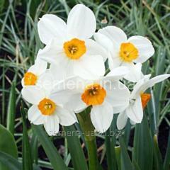 Flowers seeds Geranium Narcissus, Article of