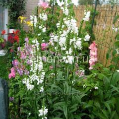 Flowers seeds, Fizostegiya's Perennial