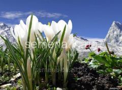 Flowers seeds Jeanne d Crocus '' Dark, Article of
