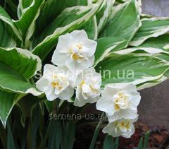 Flowers seeds Cheerfulness Narcissus, Article of