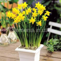 Flowers seeds Narcissus of Tete a Tete, Article of