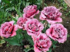 Семена цветов Тюльпан Mascotte, Артикул