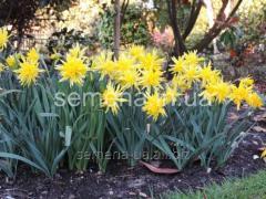 Flowers seeds Narcissus of Rip van Winkle, Article