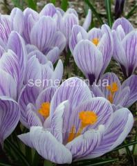 Flowers seeds Crocus of King of the Striped,