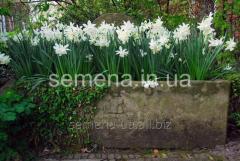 Flowers seeds Triandus Thalia Narcissus, Article