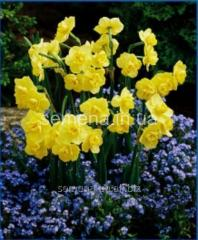 Flowers seeds Yellow Cheerfulness Narcissus,