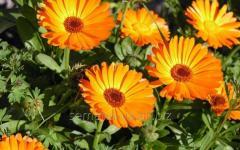 Seeds of medicinal herbs Calendula medicinal,