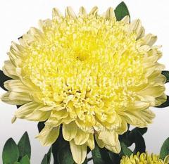 Семена цветов, Однолетник Астра Матадор, Артикул УТ000000033