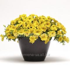 Flowers seeds Kalibrakhoa Kablum of F1, Article of