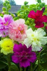 Flowers seeds Hollyhock terry Monarch, Article of