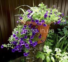Flowers seeds, Odnoletnik Kalibrakhoa Kablum of