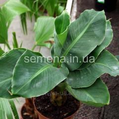 Seeds of window plants Banana room, Article 711
