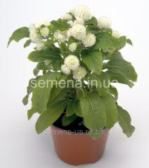 Flowers seeds, Odnoletnik Gomfrena Buddi, Article
