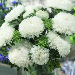 Семена цветов, Однолетник Астра Сиринга, Артикул УТ000003417