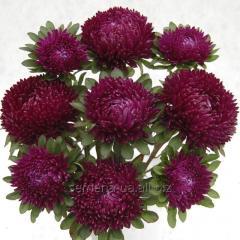 Семена цветов, Однолетник Астра Сиринга, Артикул УТ000003415