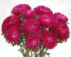 Семена цветов, Однолетник Астра Сиринга, Артикул УТ000003413